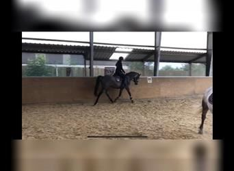 German Riding Pony, Mare, 4 years, 14.3 hh, Gray