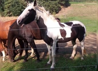 Gypsy Horse Mix, Mare, 5 years, 14.1 hh, Pinto