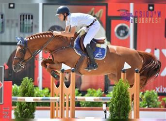 KWPN, Mare, 7 years, 16 hh, Chestnut