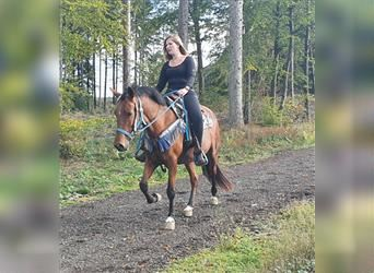 Other Breeds, Mare, 5 years, 14.3 hh, Brown