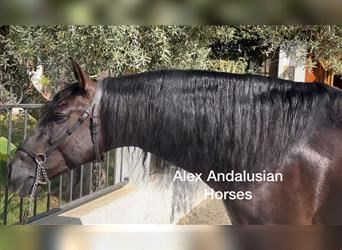 Andalusier, Hengst, 4 Jahre, 164 cm, Rappe