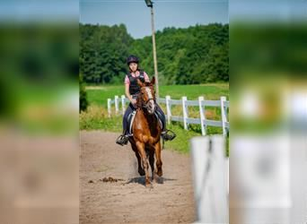 Classic Pony Mix, Mare, 10 years, 14.1 hh, Chestnut-Red