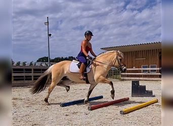 Fjord Horses, Mare, 13 years, 14.1 hh, Dun