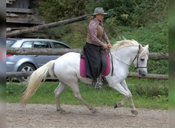 Camargue, Mare, 7 years, 14.1 hh, Gray