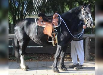 Friesian horses Mix, Mare, 9 years, 15.3 hh, Black