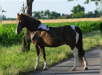 Hungarian Sport Horse Mix, Gelding, 10 years, 15.1 hh, Tovero-all-colors