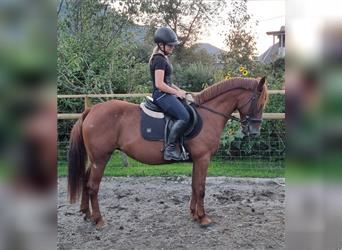 More ponies/small horses, Mare, 6 years, 14 hh, Chestnut-Red