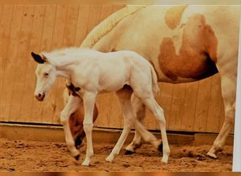 Paint Horse, Mare, Foal (01/2021), 15.2 hh, Tovero-all-colors