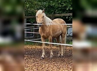 Curly horse, Mare, 5 years, 11.1 hh, Palomino