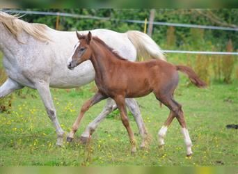 French riding pony, Mare, Foal (05/2021), 14.1 hh, Gray