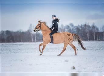 New Forest Pony, Mare, 10 years, 14.1 hh, Chestnut-Red