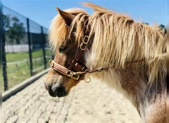 Shetland Ponies Mix, Mare, 7 years, 10.2 hh, Roan-Red