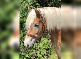Haflinger, Mare, 7 years, 14.2 hh