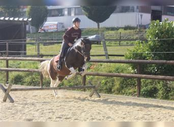 Lewitzer, Mare, 14 years, Pinto