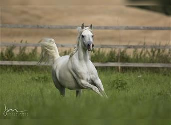 Straight Egyptian, Mare, 10 years, 15.1 hh, Gray