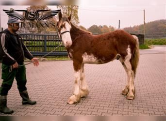 Clydesdale, Stallion, 1 year, 14.2 hh, Pinto
