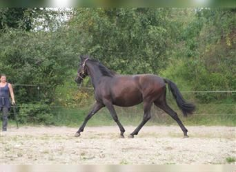 Andalusian, Mare, 2 years, 14.2 hh, Black