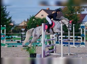 Czech sports pony, Mare, 8 years, 14 hh, White