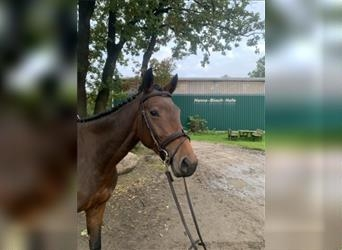 German Riding Horse, Mare, 4 years, 16 hh, Brown