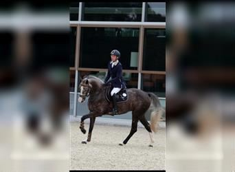 KWPN, Mare, 4 years, 16 hh, Gray-Blue-Tan