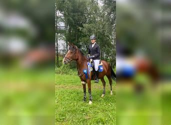 New Forest Pony, Mare, 5 years, 14.1 hh, Brown