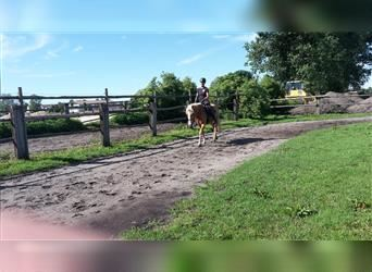 Andalusian Mix, Gelding, 5 years, 14.3 hh, Palomino