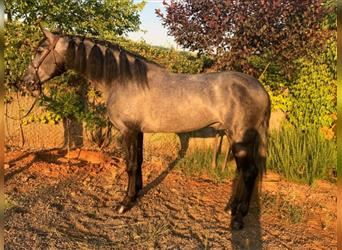 Andalusian, Stallion, 4 years, 15.2 hh, Gray-Blue-Tan
