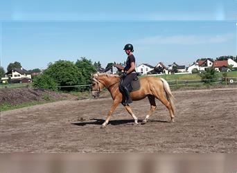Andalusier Mix, Wallach, 5 Jahre, 152 cm, Palomino