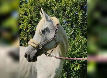 Other Breeds, Mare, 10 years, 15.1 hh, Gray