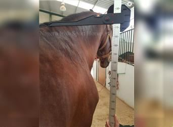 Andalusian, Gelding, 6 years, 17 hh, Bay