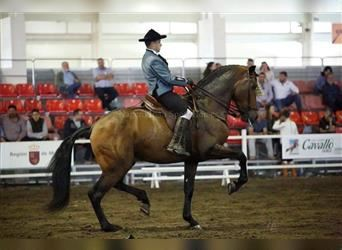 Andalusier, Wallach, 6 Jahre, 173 cm, Rotbrauner