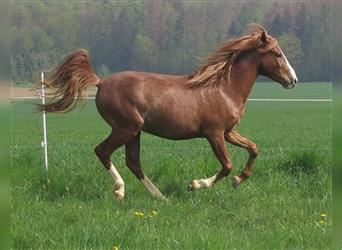 More ponies/small horses, Gelding, 4 years, 13.2 hh, Rabicano