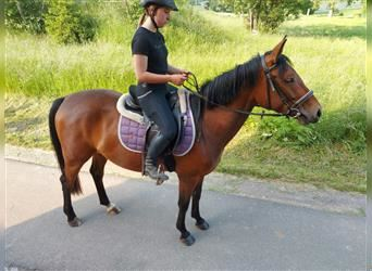 More ponies/small horses, Mare, 5 years, 15 hh, Brown-Light