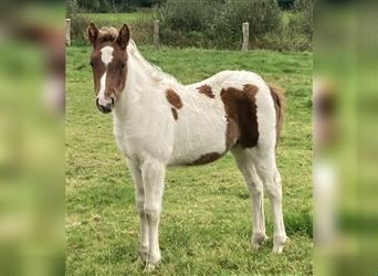 Gypsy Horse, Mare, Foal (06/2021), 14.1 hh, Pinto