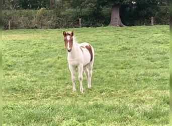 Gypsy Horse, Mare, Foal (06/2021), 14.2 hh, Pinto