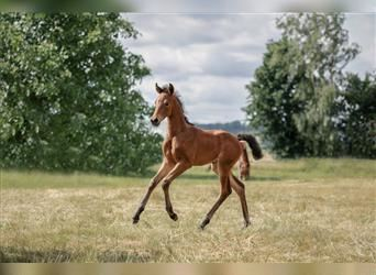 Hanoverian, Mare, Foal (06/2021), 16.1 hh, Brown