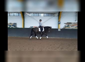 More ponies/small horses, Gelding, 4 years, 14.2 hh