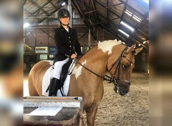 Welsh PB (Partbred) Mix, Gelding, 7 years, 15 hh, Tobiano-all-colors