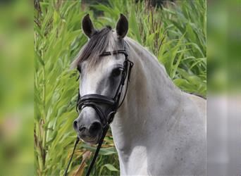 Andalusian Mix, Mare, 12 years, 14.1 hh, Gray-Dapple