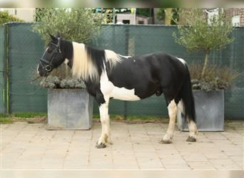 Gypsy Horse, Gelding, 9 years, 14.1 hh, Pinto