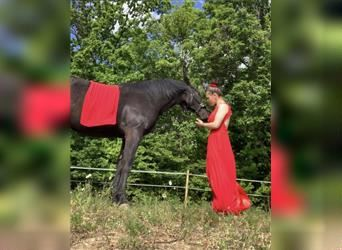 Paint Horse Mix, Mare, 3 years, 14.2 hh, Black