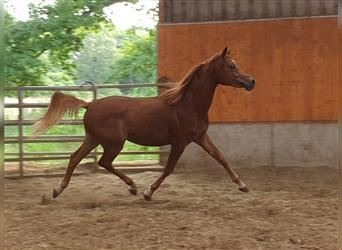 Straight Egyptian, Gelding, 2 years, 14.3 hh, Chestnut-Red
