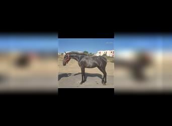 Andalusian, Mare, 1 year, 14.1 hh, Gray