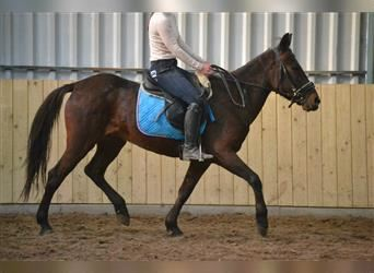 Other Breeds, Mare, 17 years, 13.2 hh, Smoky-Black