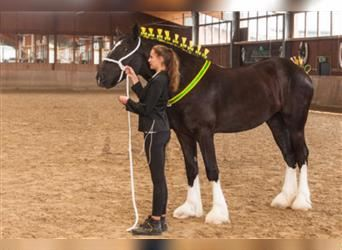 Shire Horse, Mare, 6 years, 18 hh, Black