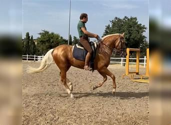 Andalusier, Hengst, 12 Jahre, 160 cm, Palomino