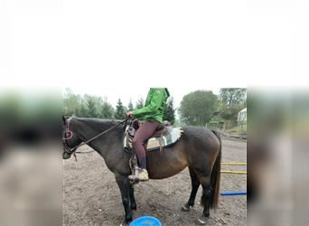 Small German riding horse, Mare, 4 years, 14 hh, Chestnut