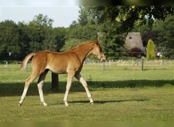 German Riding Pony, Stallion, Foal (04/2021), 14.1 hh, Chestnut-Red
