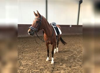 NRPS, Mare, 15 years, 15 hh, Brown