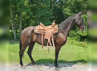 Tennessee walking horse, Mare, 9 years, 16 hh, Black